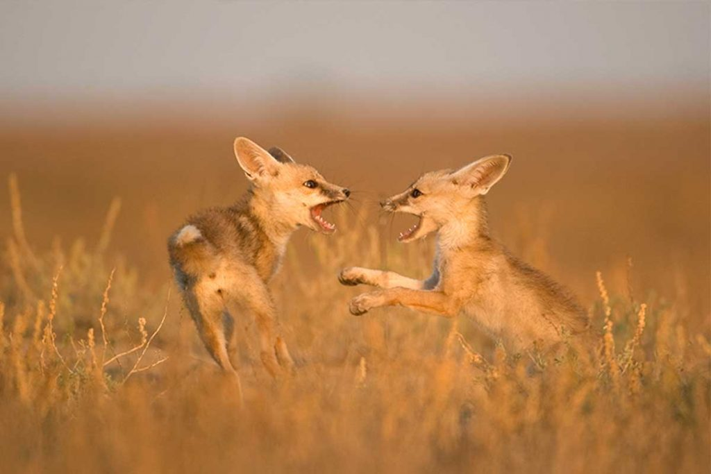 Playful desert fox fight observed on our Little Rann Safari