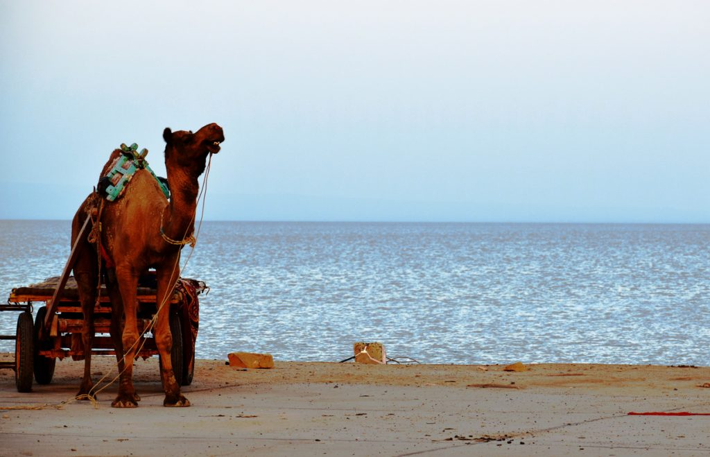 A Camel Safari on the endless White Rann we visit on out Kutch Journeys