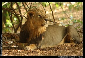 Lion in a pensive mood , at Gir National Park