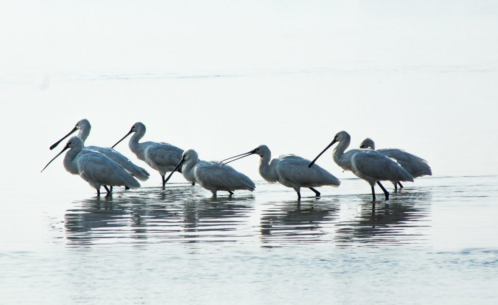 Spoonbills feeding on Chambal river