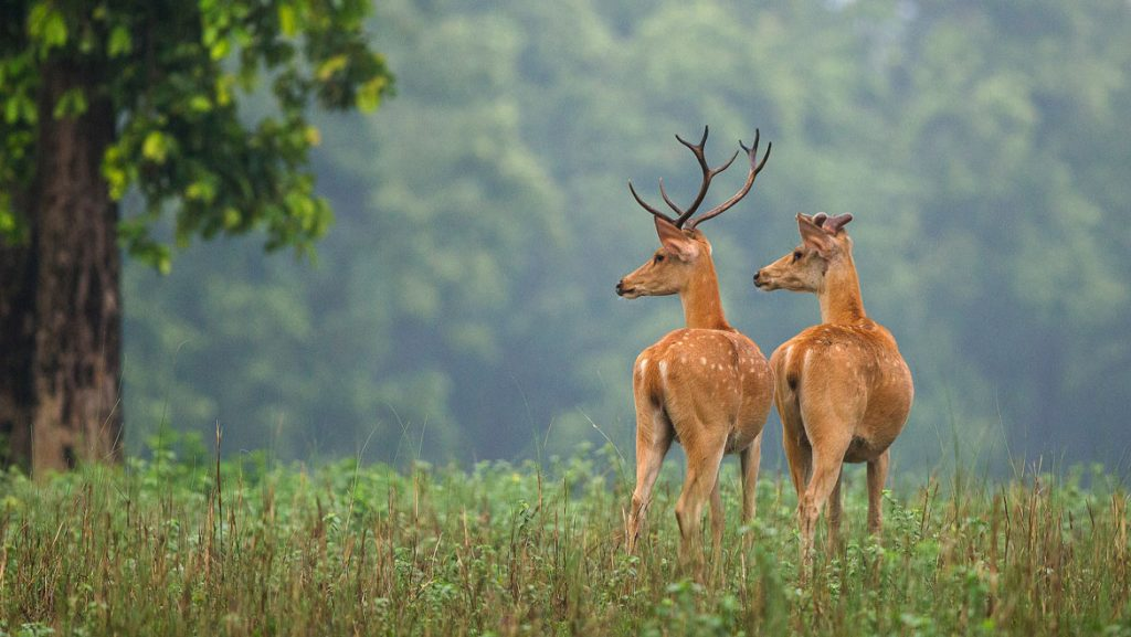 Stags seen on our Kanha Safari Experience