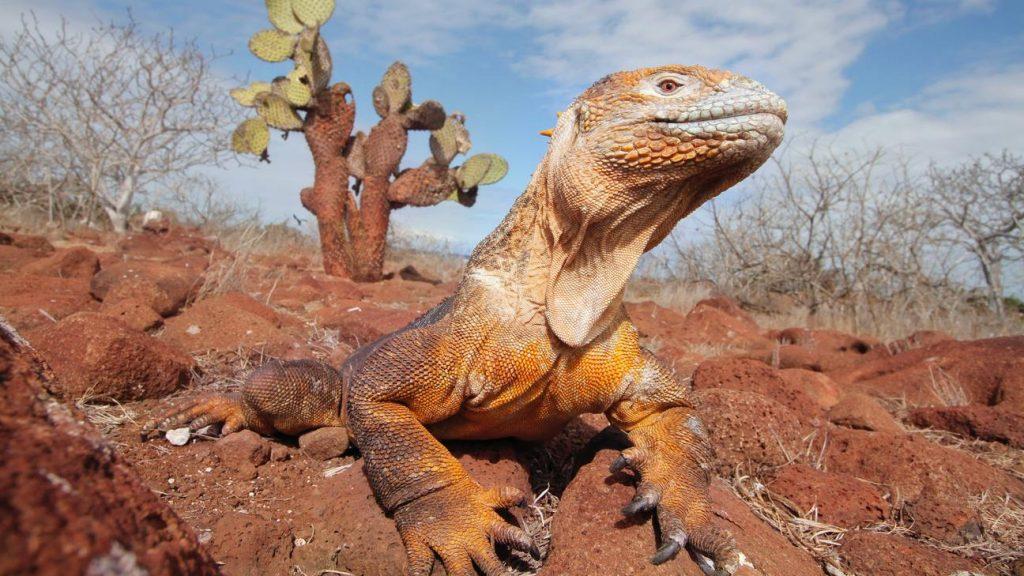 Iguans of Galapagos in Darwin's Playground