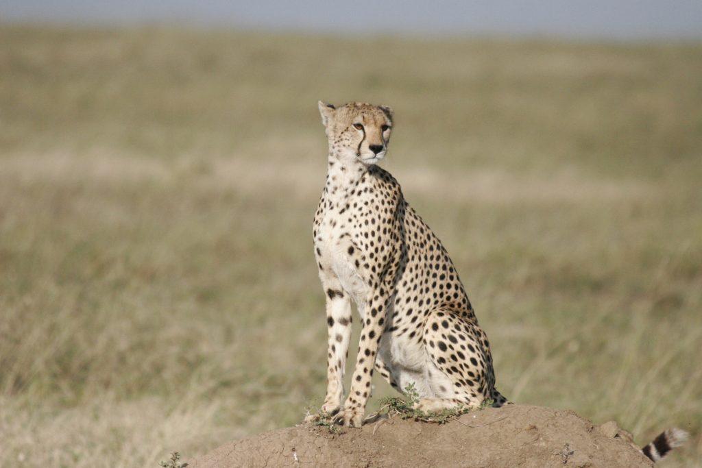 Cheetah sighting on out Tanazania Wildlife Trip