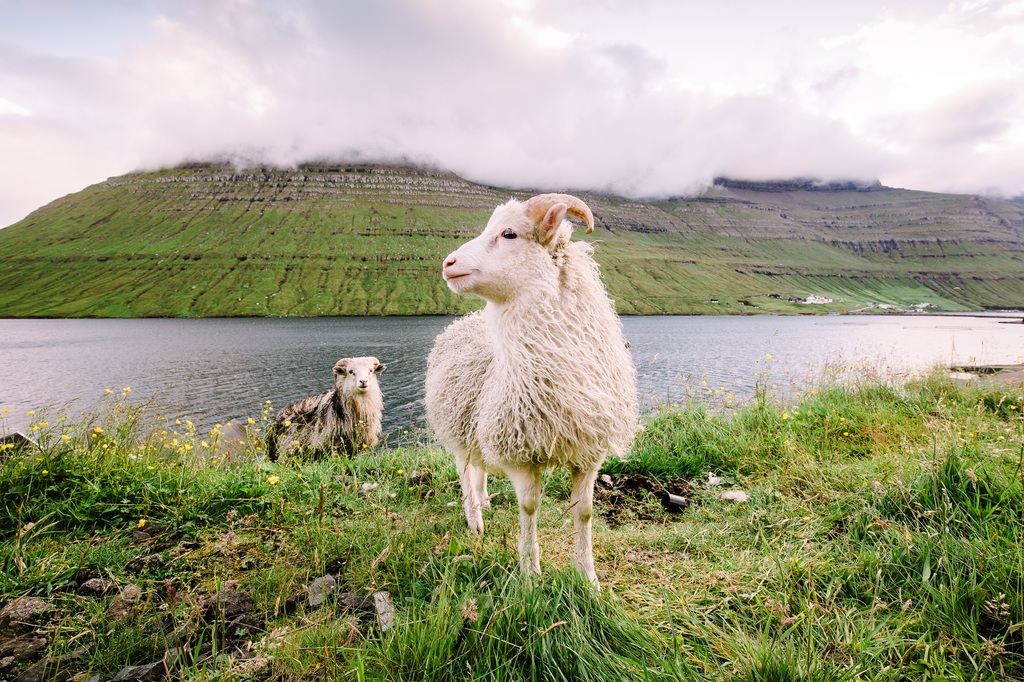 Sheeps of Faroe Island, they outnumber people in this tiny country