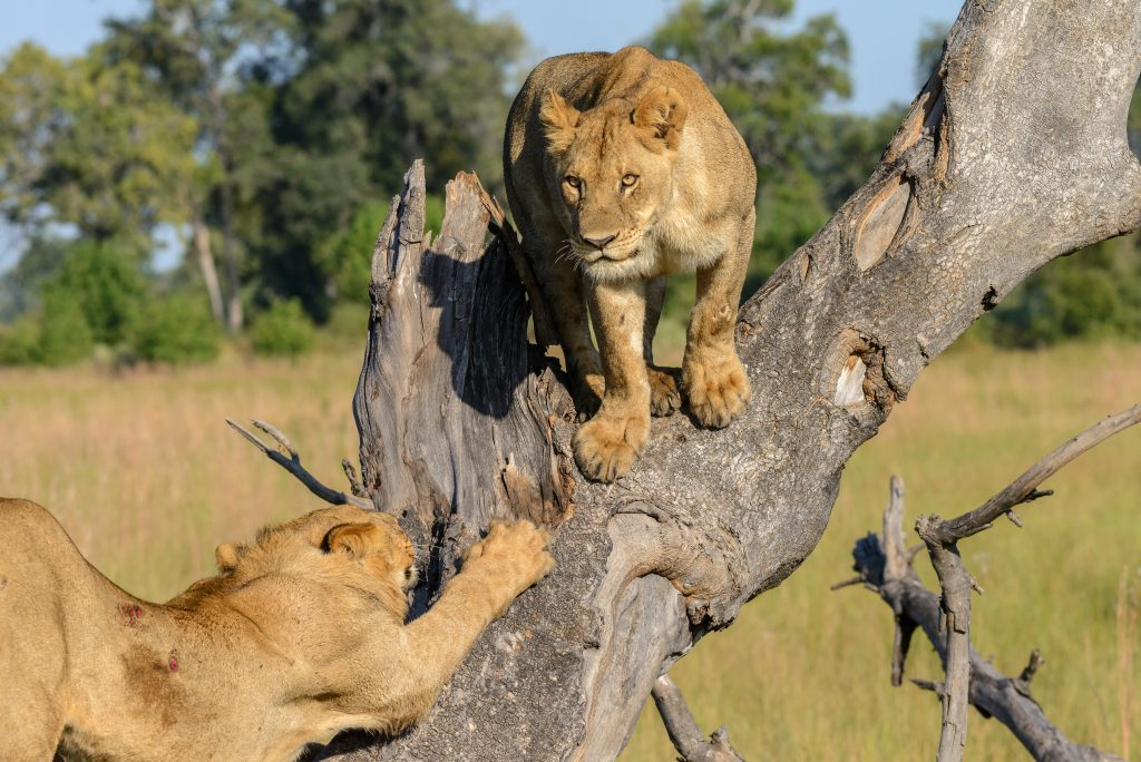 The Tree climbing lions of OKavango , Botswana