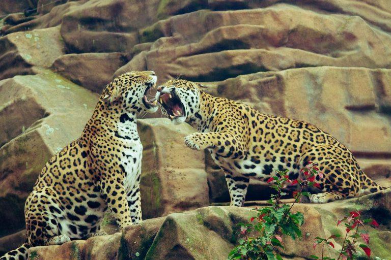 Leopards lair in Bera