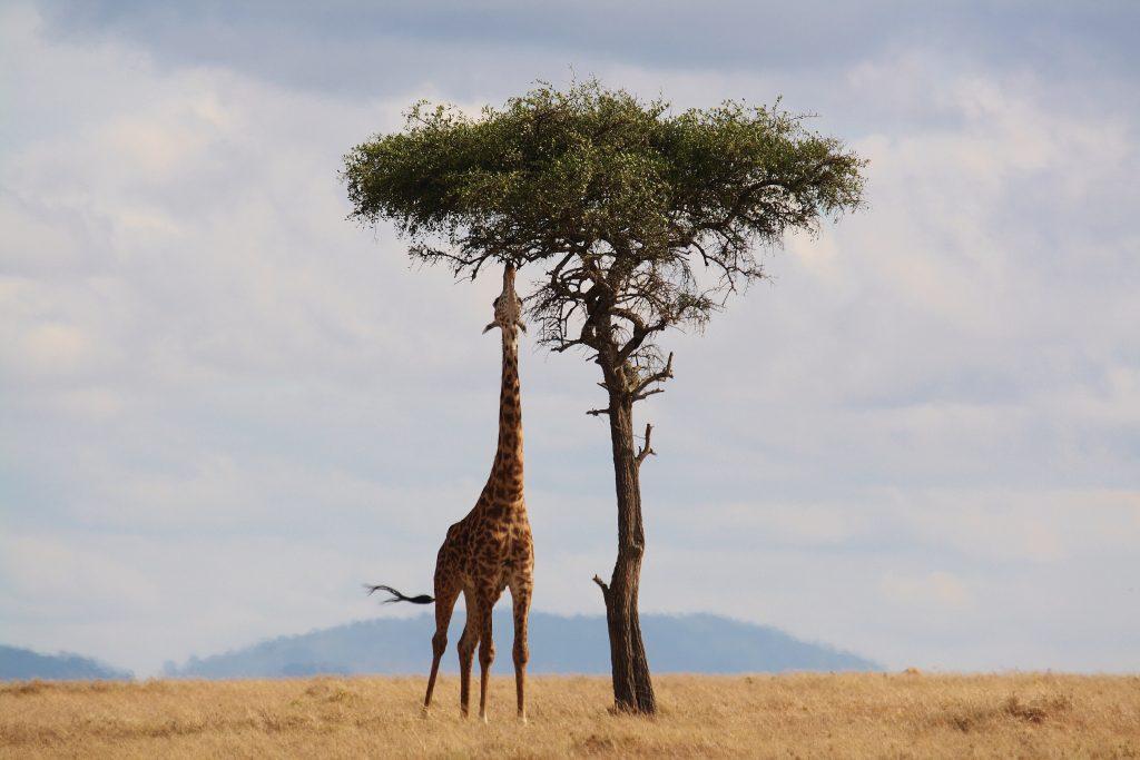 Giraffe feeding on Masai Plains in our Kenya Safaris
