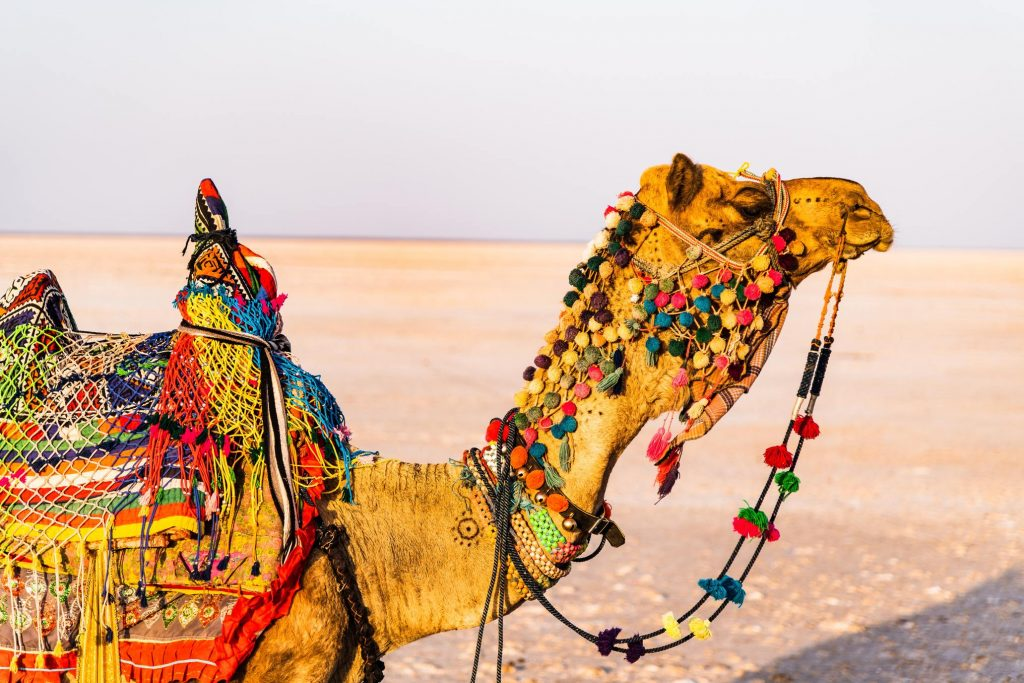 Colourful camels of the Rann , whilst on the Kutch Experience