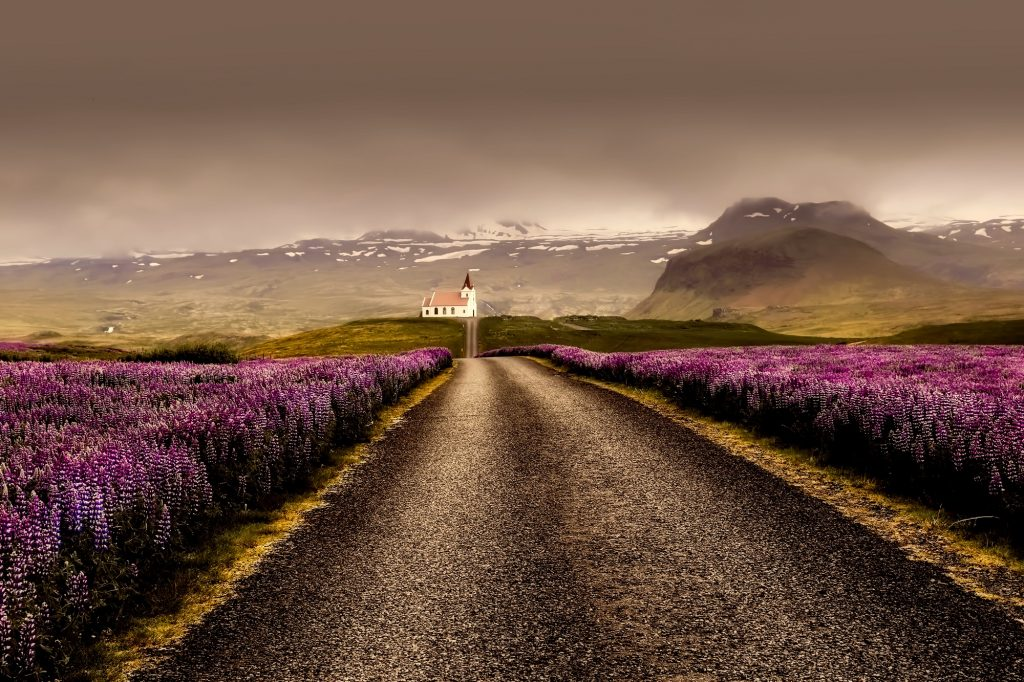 roads surrounded by wildflowers on our Icelandic Journeys