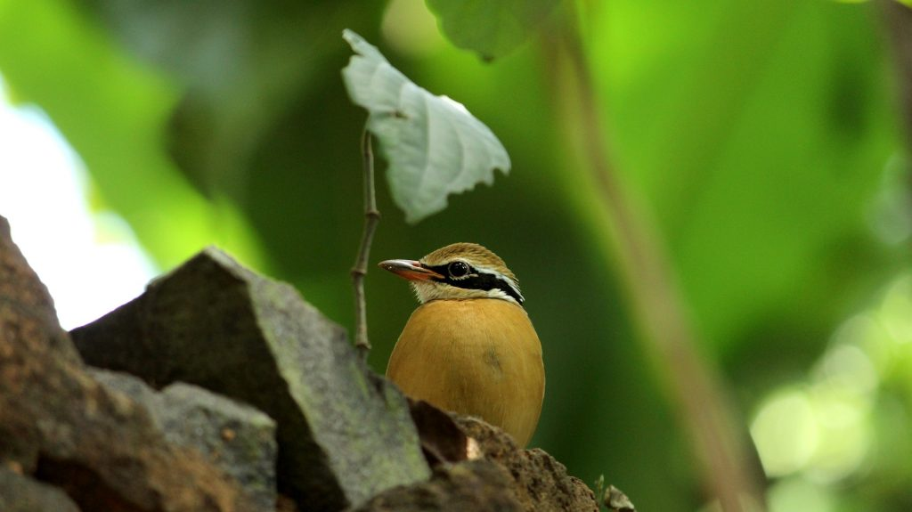 India Pitta seen on our Central India Safari Experience