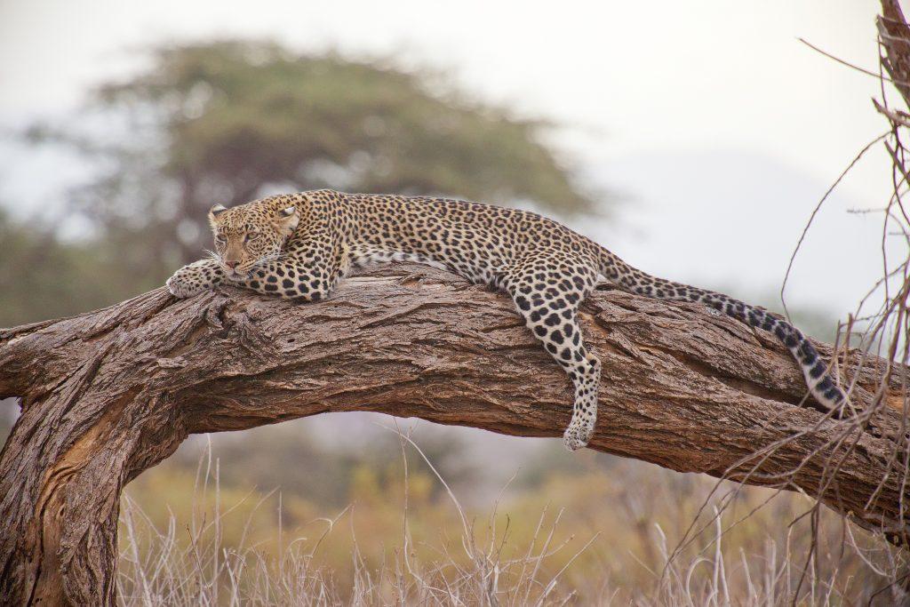 Cheetah as seen on our Kenyan Safaris