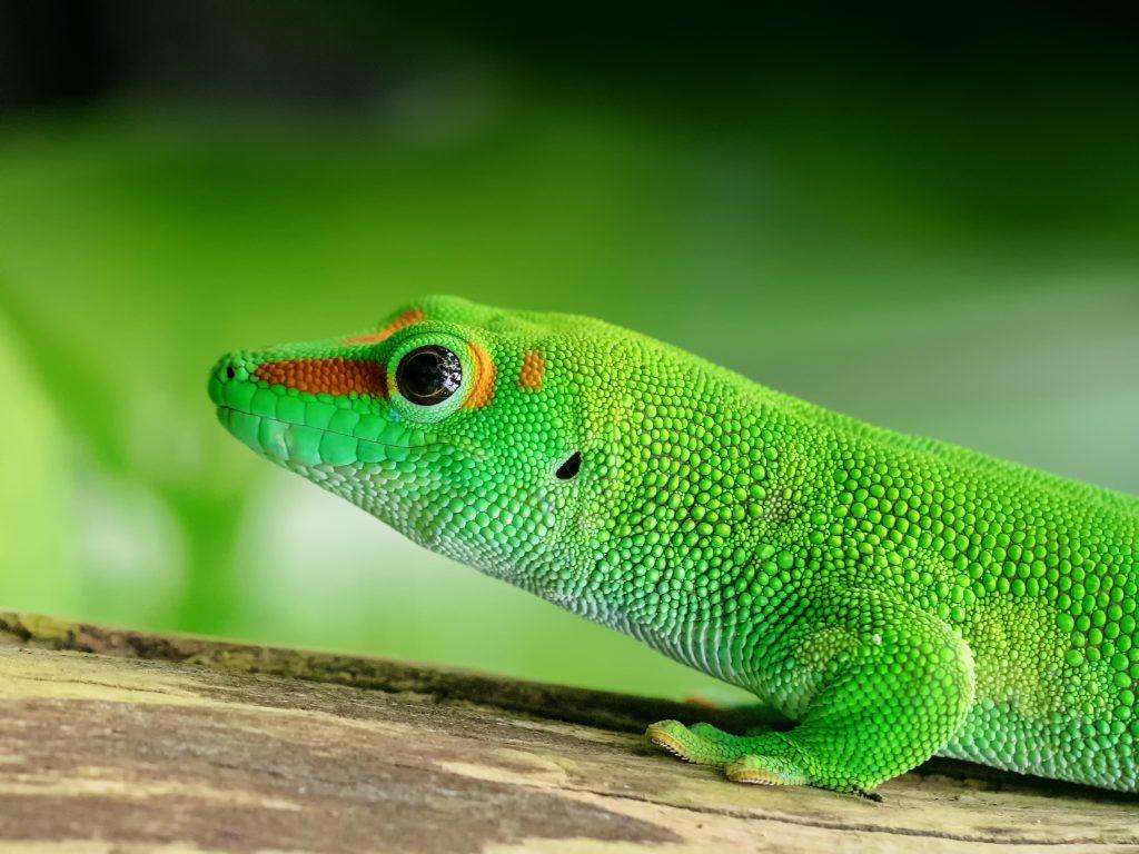 The endemic geckos of Madagascar