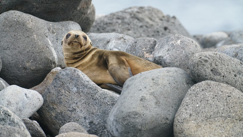 Unafraid seals on the Galapagos Islands