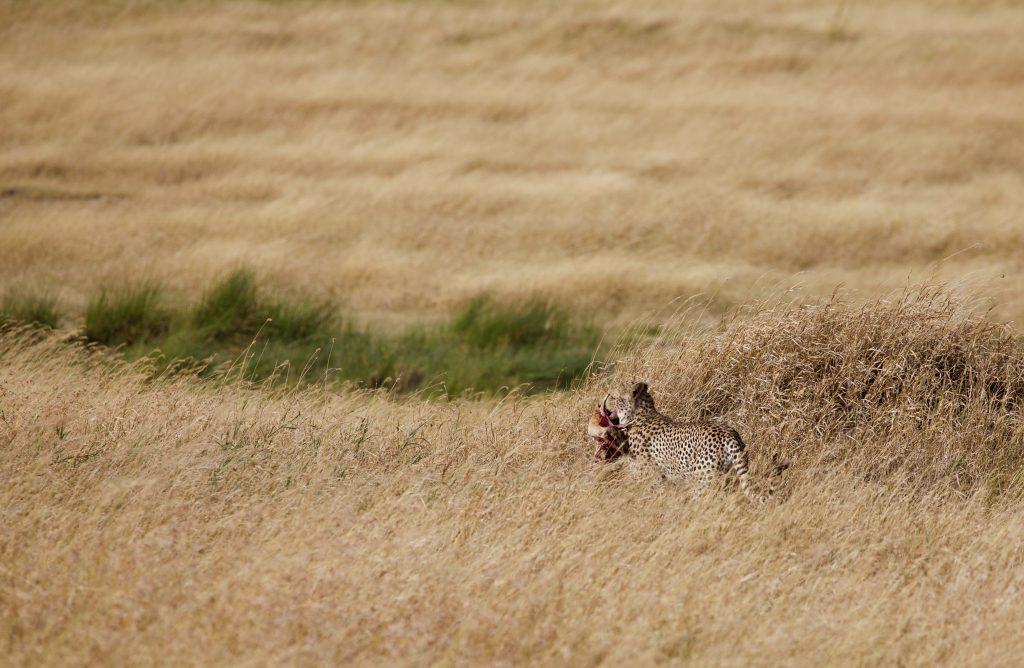 Cheetal with Kill on our thrilling safari experiences of Tanzania