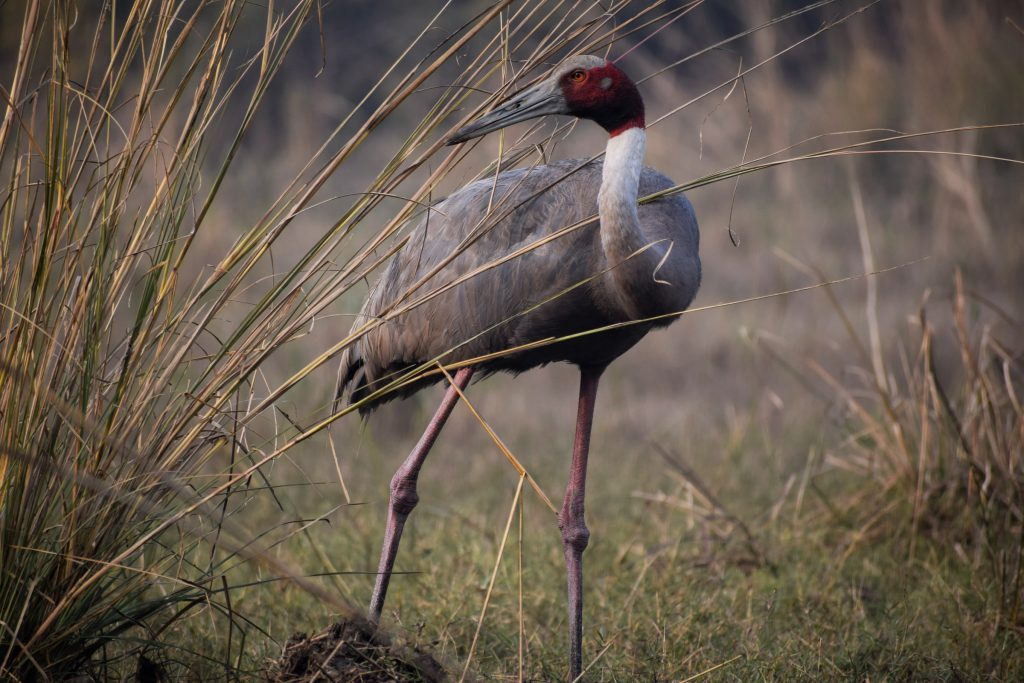 Sarus crane captured while on our Bharatpur Trip