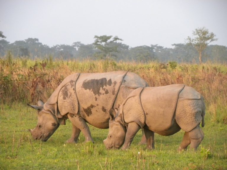 One horned Rhinos of Kaziranga
