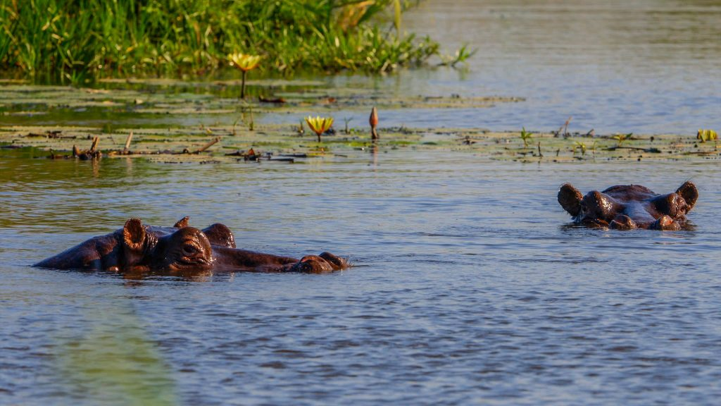 Giant hippos of Botswana , Okavango Delta