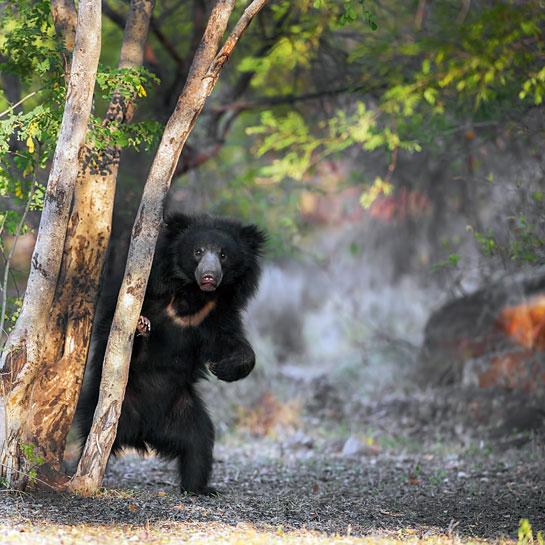 Bear seen on our Kanha Safari Experience