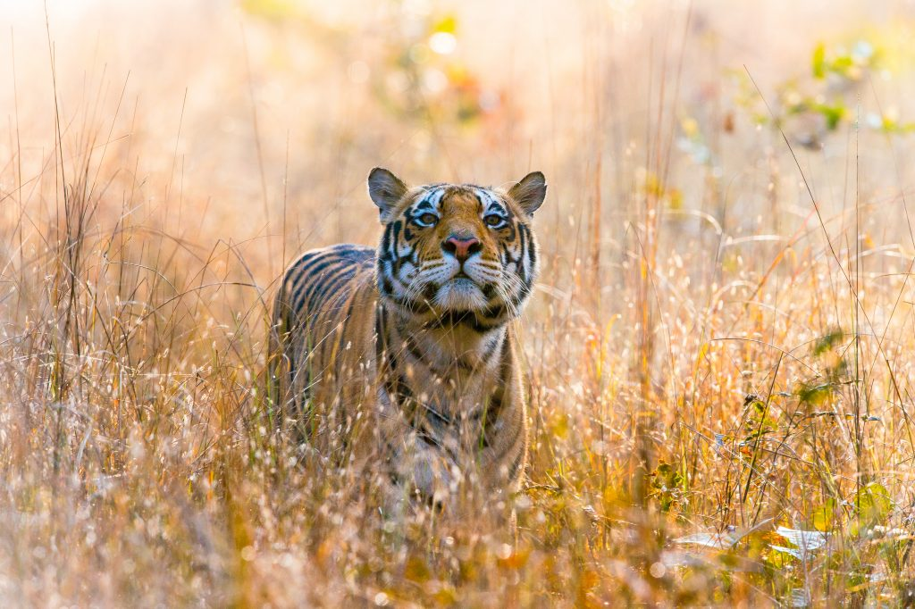 Tiger seen on a safari in the jungles of Central India