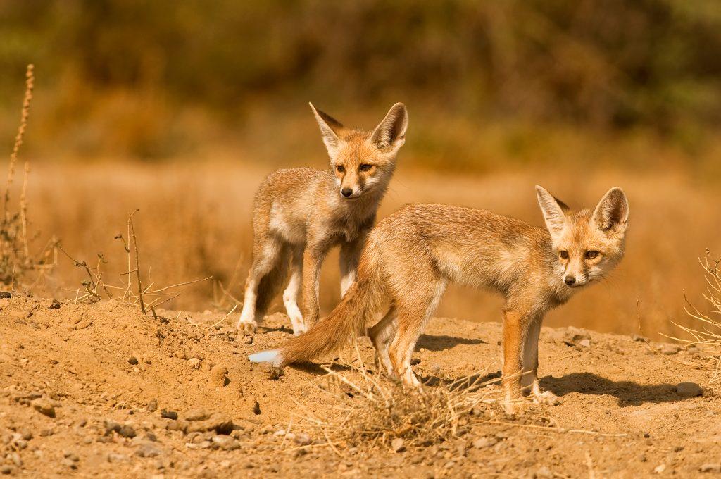 Desert foxes seen on our Little Rann safari experience