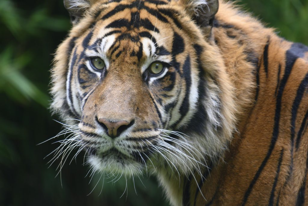 Tiger portrait shot while on safari in Tadoba