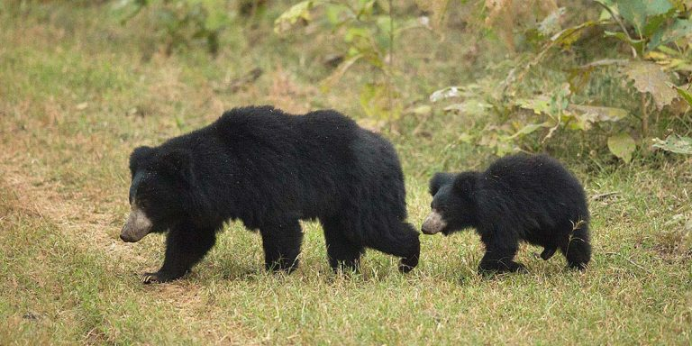 Sloth bear family ambling across the jungle