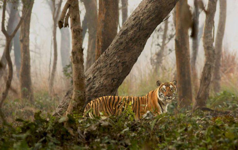 Tiger in the terai
