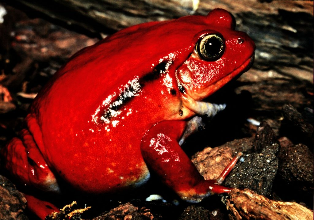 Tomato Frog - MAdagascar Travel