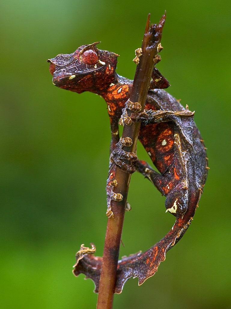 Leaf Tailed Gecko - Madagascar Travel