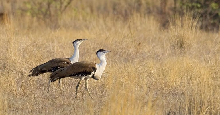 A Pair of Great Indian Bustards - DNP is home to the last few remaining populations of the majestic bird