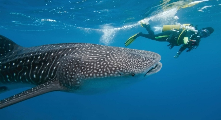 Diving with the Whale sharks is the most popular activity on Dhigurah