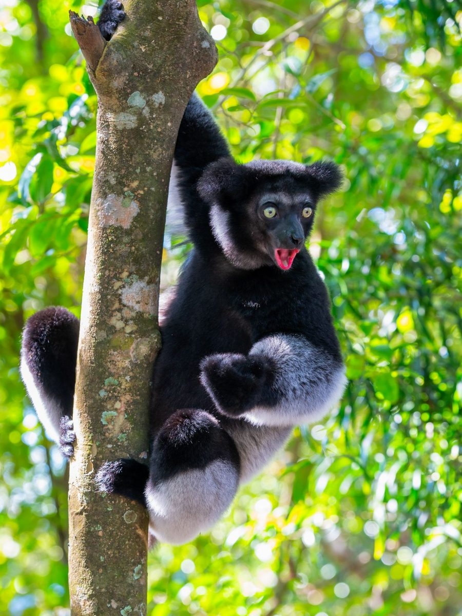Indri - Madagascar Travel